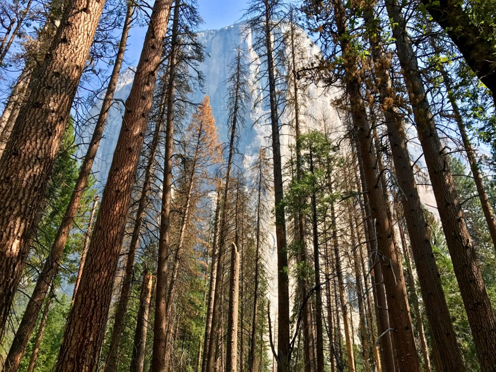 El Capitan above the forest in Yosemite Valley