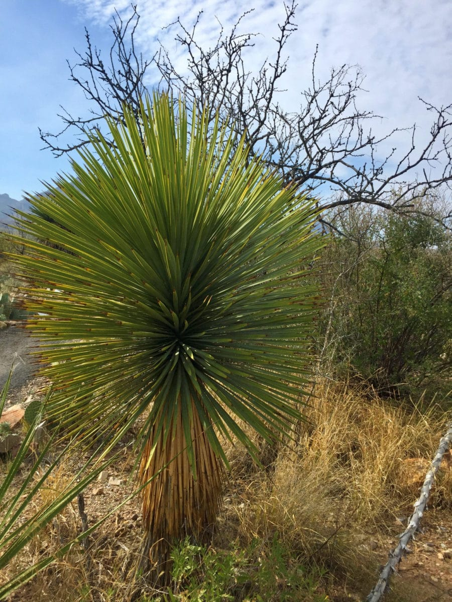 Yucca on Panther Path in Big Bend National Park