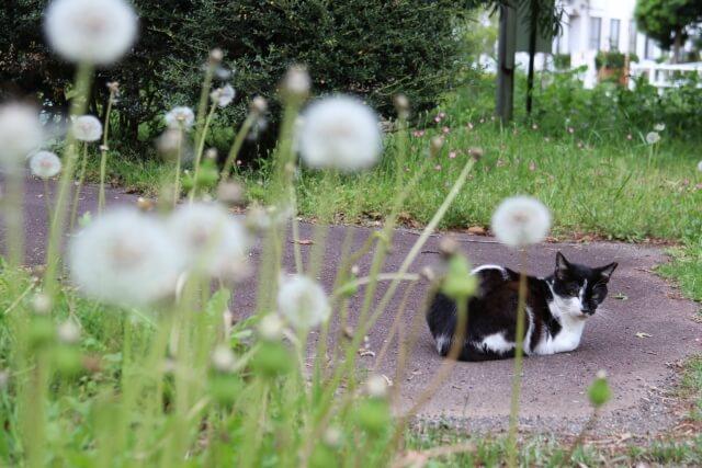 ハチワレ猫とたんぽぽ