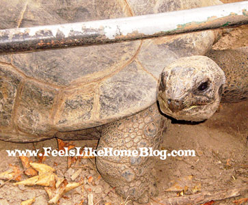 Giant tortoise at the Zoo