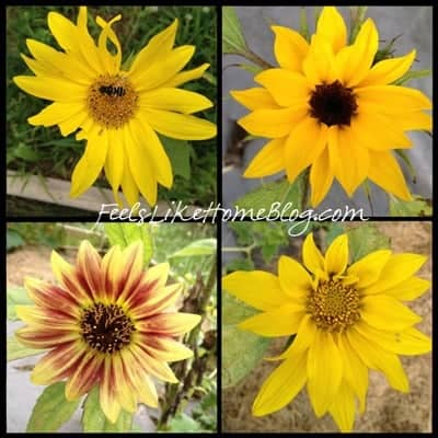 A collage of sunflowers
