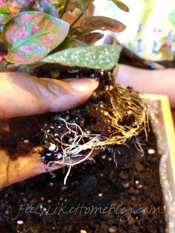 Separate the roots of the plant and flatten them out