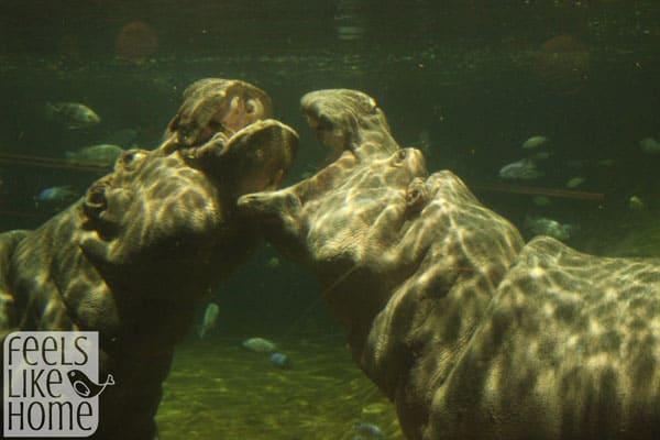 Adventure Aquarium review - hippos playing