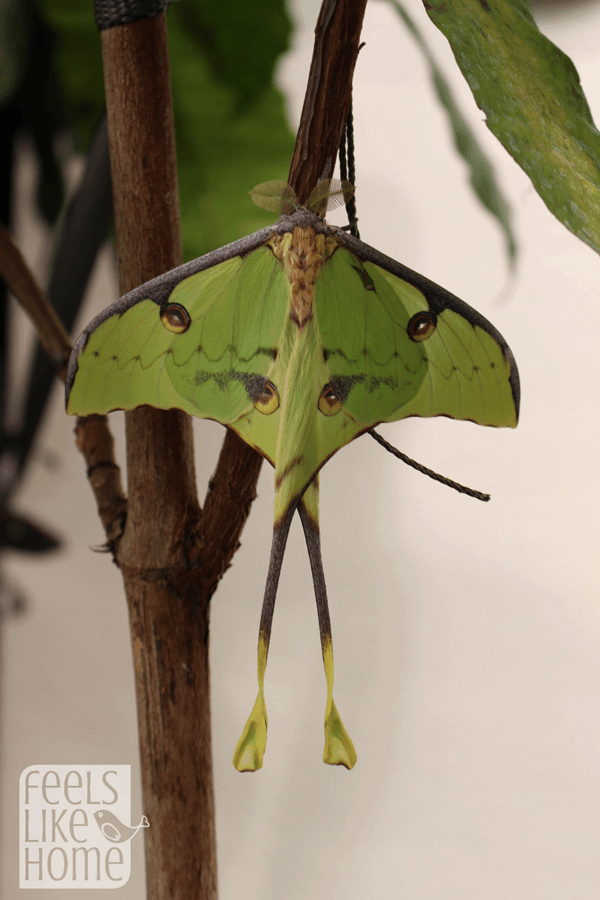 hershey-conservatory-butterfly-house-green-moth