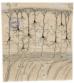 Neuronas Piramidales del Córtex Central y los Caminos de Sus Axones
