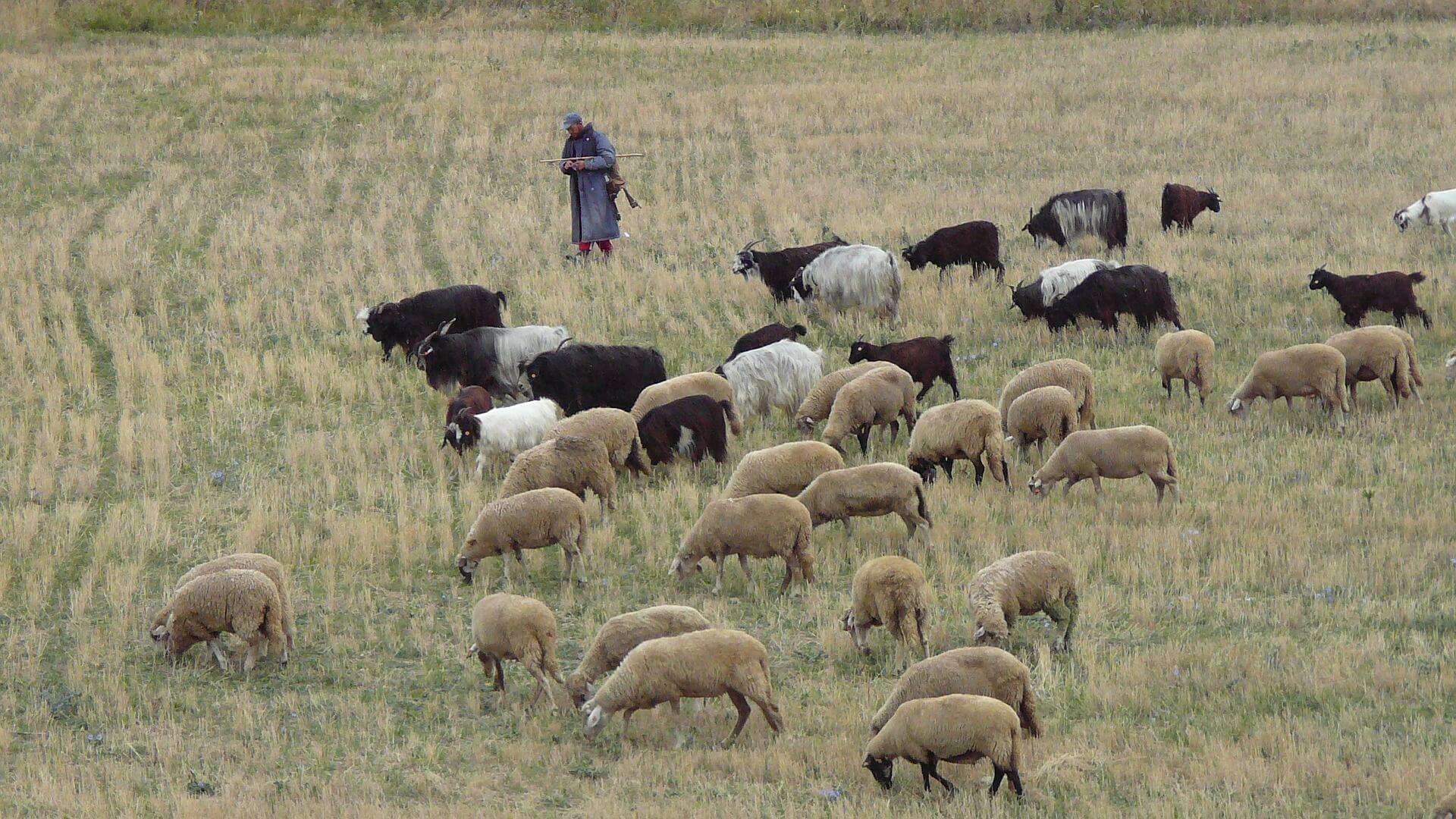 Hirte mit Schafen in Bulgarien