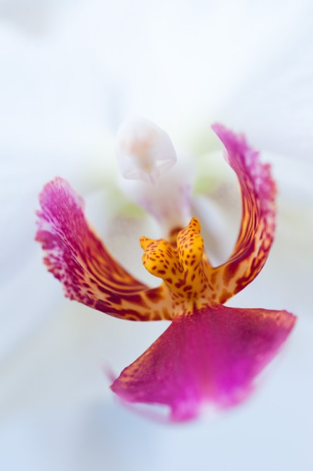 Orchidee Phalaenopsis Makro