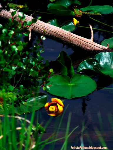 15 water lily facts