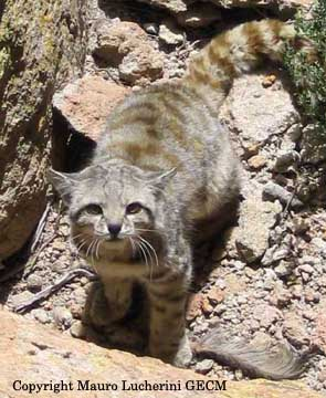 Featured Feline: Andean (Mountain) Cat