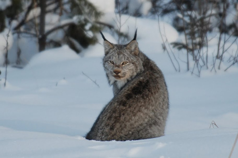 Restoring Wolves Could Help Canada Lynx