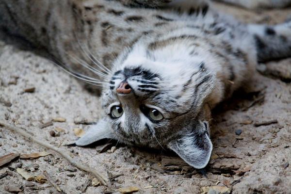 Caturday Feature: Bobcat