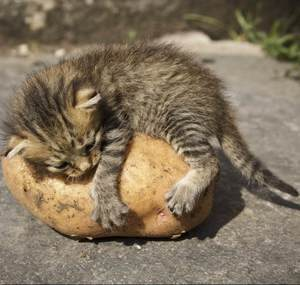 image of a small kitty hugging a potato