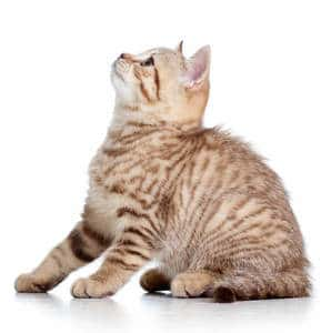 image of a tabby kitten
