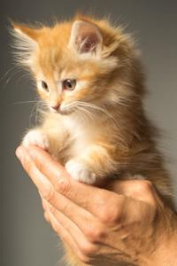 a little orange kitten in a man's hands,isolated on gray background