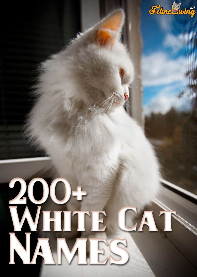 White Cat Names 200 Best Names For Your Snowball