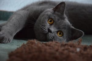 Most Fabulous Gray Cat Breeds And Their Characteristics 3