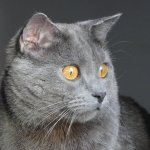 Most Fabulous Gray Cat Breeds And Their Characteristics