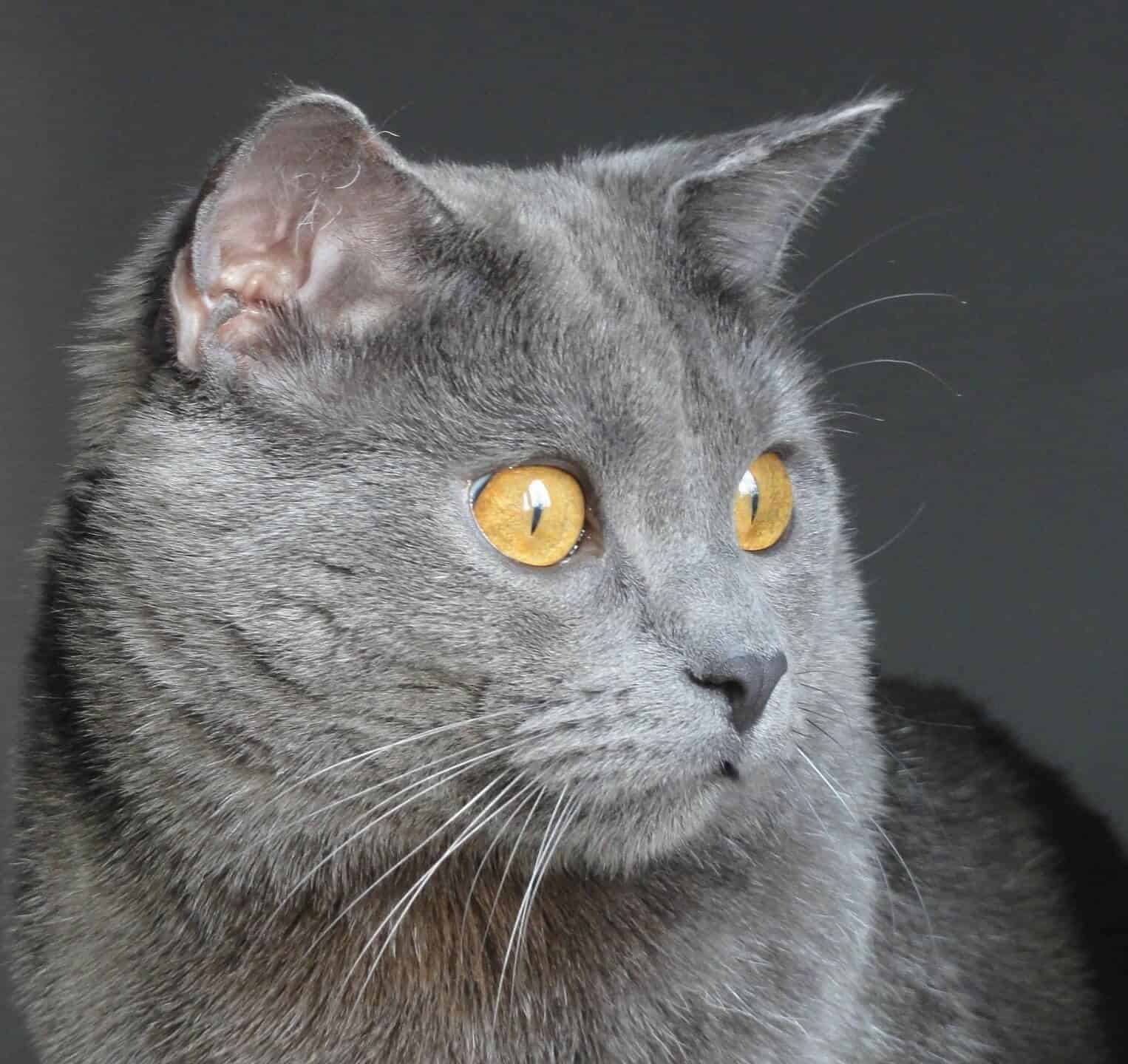 8 Most Fabulous Gray Cat Breeds And Their Characteristics