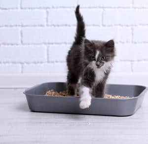 kitten comes out of litter box