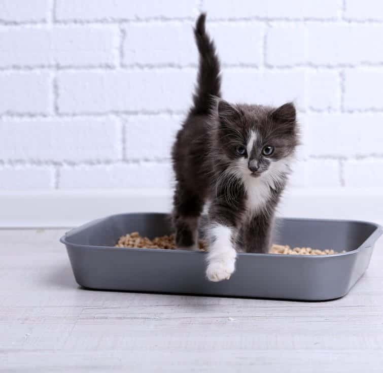 Litter Box Train Your Kitten