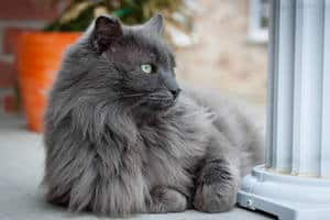 Most Fabulous Gray Cat Breeds And Their Characteristics 7
