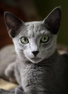 Most Fabulous Gray Cat Breeds And Their Characteristics 2