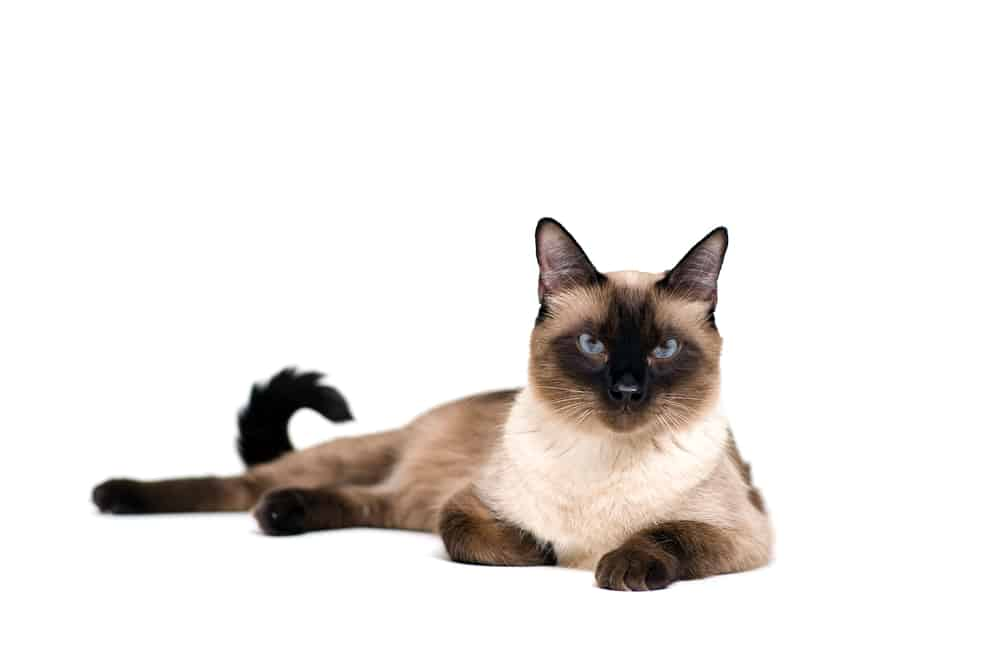 226 Siamese Cat Names - Only For Royalty Felines 3