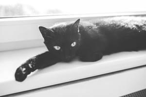 image of a female black feline