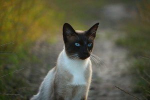 Siamese cat in the field