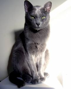 Most Fabulous Gray Cat Breeds And Their Characteristics 1