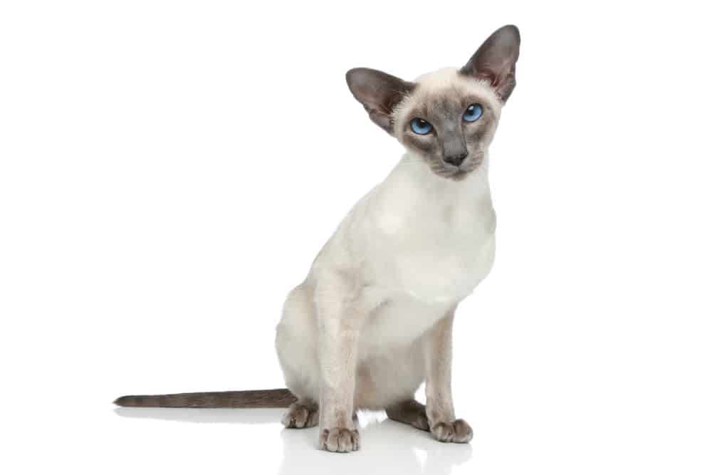 226 Siamese Cat Names - Only For Royalty Felines 2