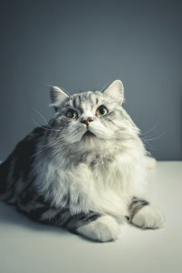 Most Fabulous Gray Cat Breeds And Their Characteristics 5