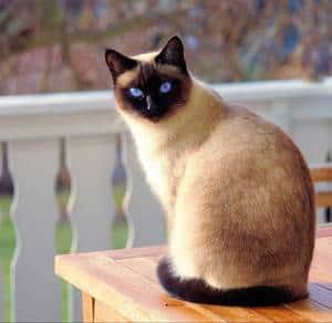 a Siamese cat sits on a table