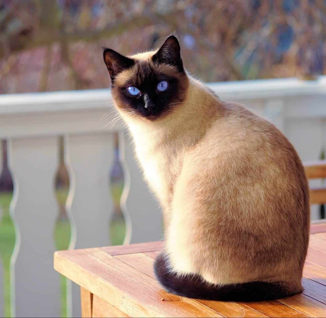 226 Siamese Cat Names Only For Royalty Felines