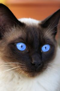 Siamese cat in close-up
