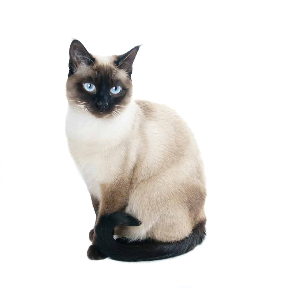 siamese cat names