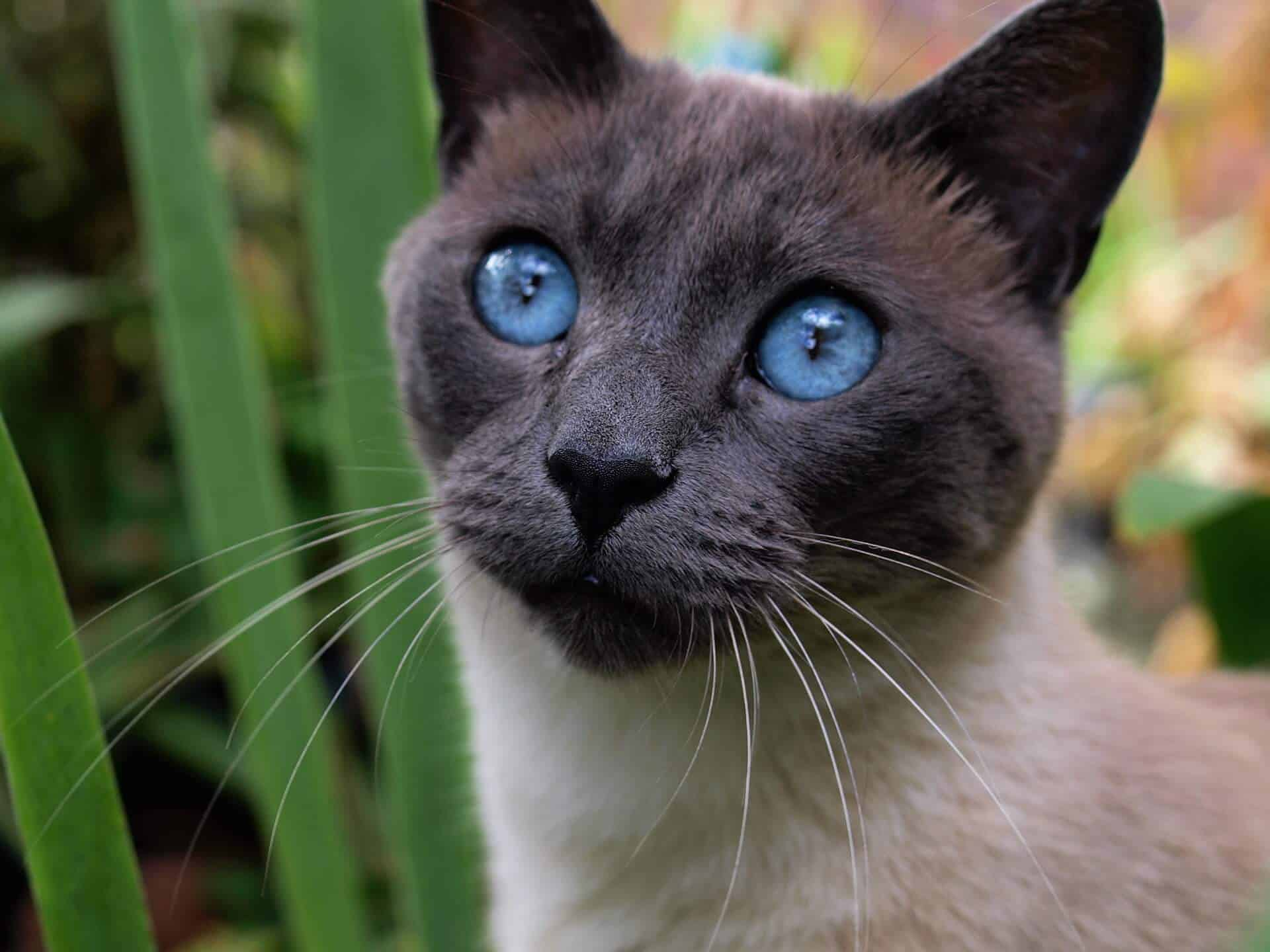Are Siamese Cats Hypoallergenic? And Do They Shed a Lot? 1
