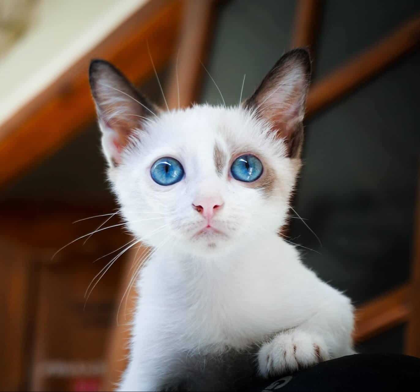 200 White Cat Names For Your Fluffy Snowball