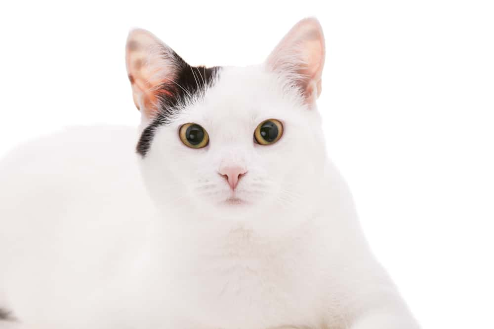 209 White Cat Names For Your Fur-bulous Snowball 3
