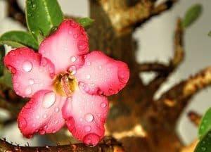 image of a desert rose