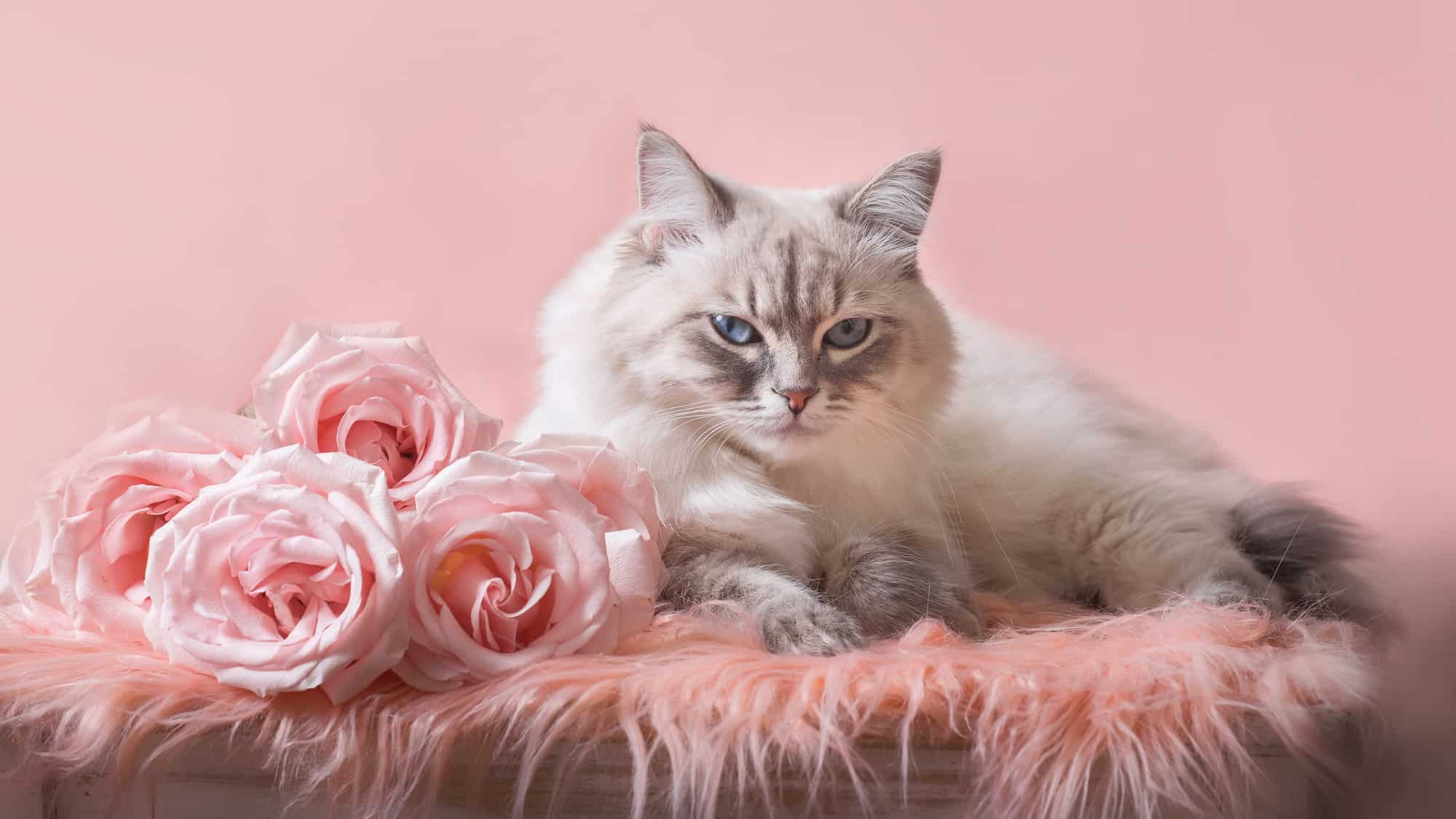 are roses toxic to cats