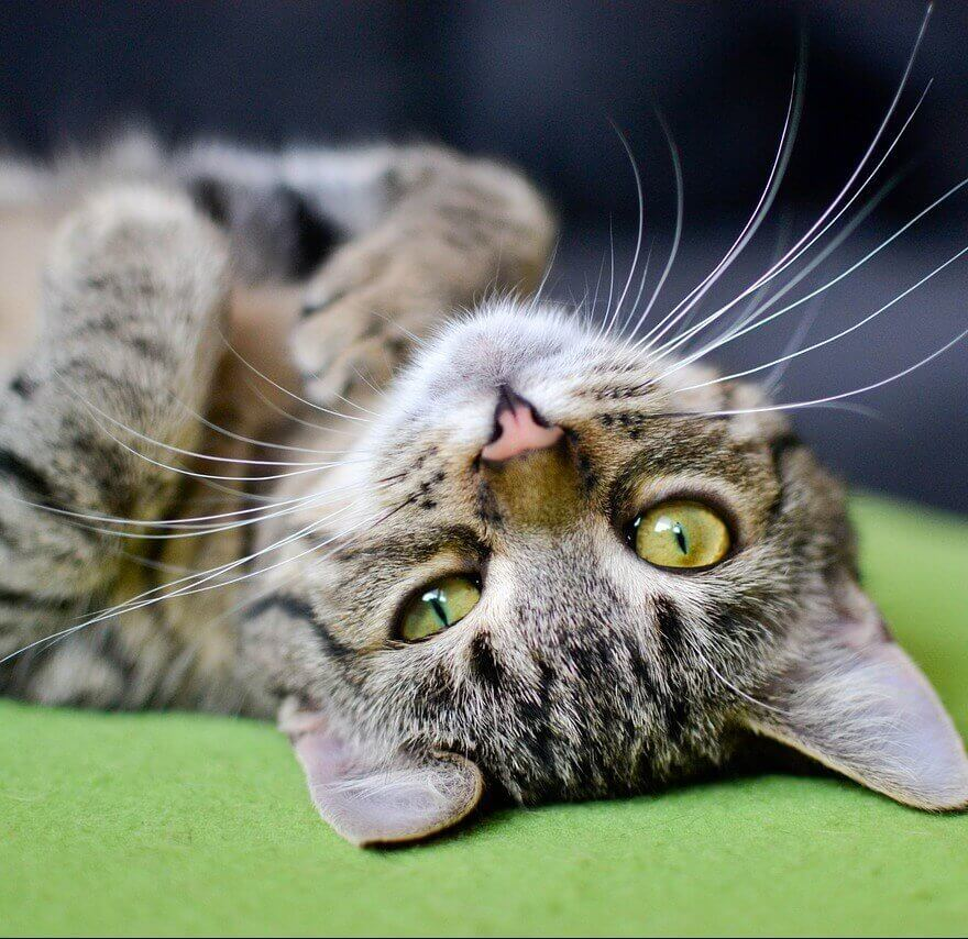 tabby cat lies on his back