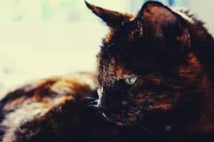 Tortoiseshell cat lies down