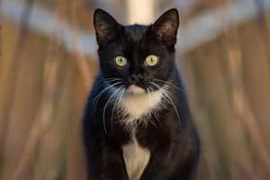 image of a male black and white kitty