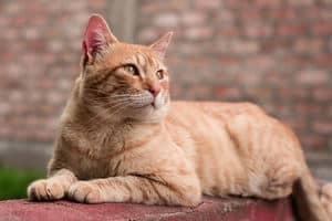 image of an orange kitty laying