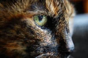 profile picture of Tortoiseshell cat