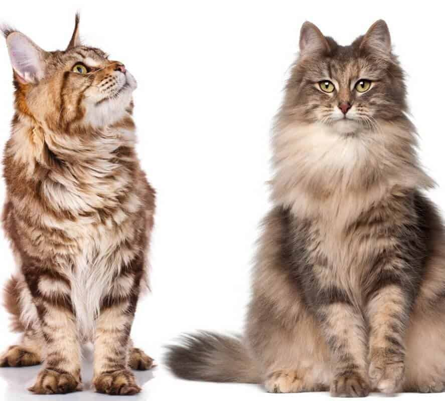 maine coon and norwegian forest cat isolated on white background