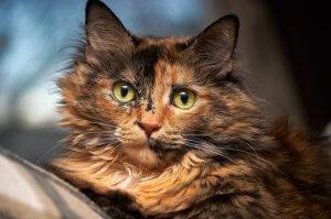 picture of tortoiseshell cat