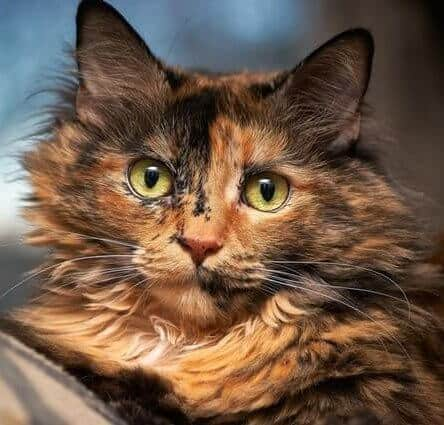 picture of tortoiseshell cat
