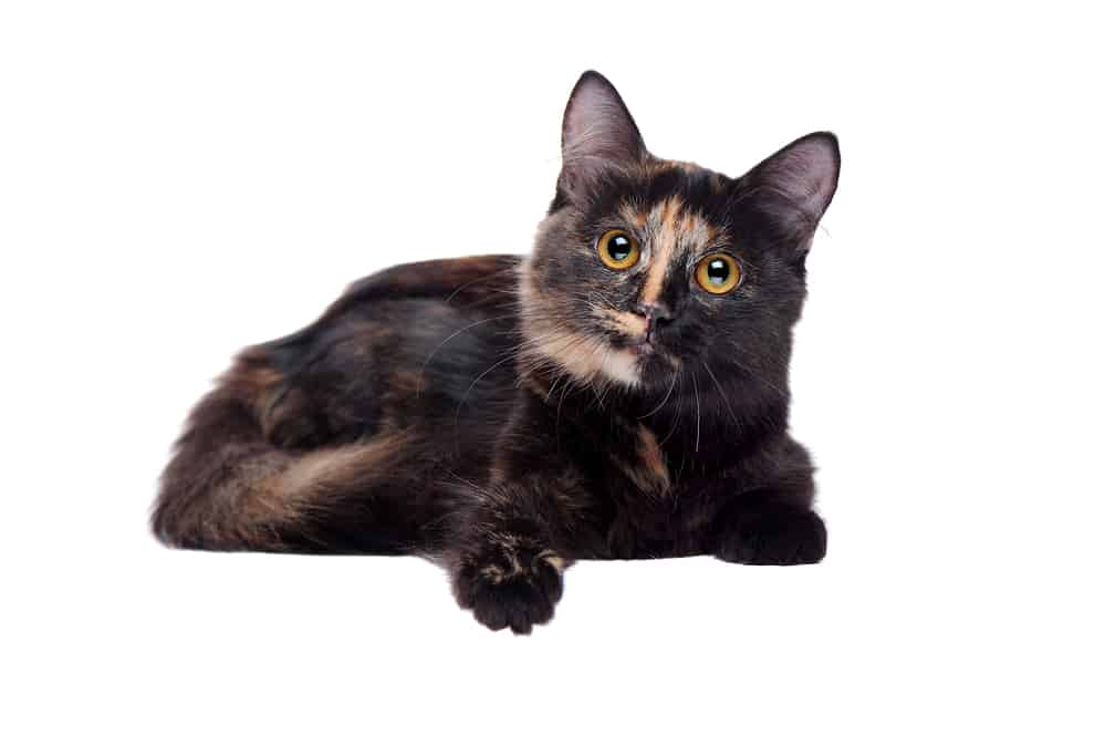 278 Tortoiseshell Cat Names For Unique Feline Beauties 1